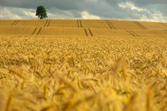 Campo de milho amarelo Imagens de Stock Royalty Free