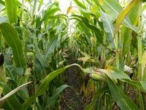 Campo de milho antes das espigas de milho maduras da colheita na fileira atrás Opinião do detalhe submersa entre o milho Fotos de Stock