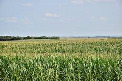 Campo de milho ao horizonte Foto de Stock