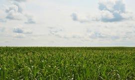 Campo de milho ao horizonte Imagens de Stock Royalty Free