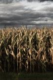 Campo de milho assustador Fotografia de Stock