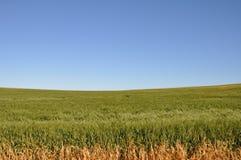 Campo de milho australiano Foto de Stock