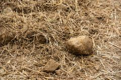 Campo de milho colhido Foto de Stock Royalty Free