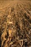 Campo de milho colhido no dia do outono Paisagem rural Orelha de milho Imagens de Stock