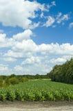 Campo de milho colorido do cloudscape Fotos de Stock