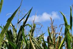 Campo de milho com as orelhas de milho Céu do fundo Foto de Stock