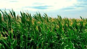 Campo de milho com as plantas de milho que movem-se no vento vídeos de arquivo