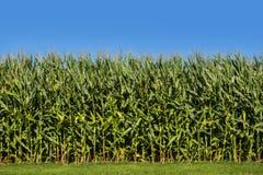 Campo de milho com céu azul Imagem de Stock Royalty Free