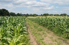 Campo de milho com céus nebulosos Fotos de Stock Royalty Free