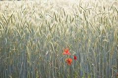 Campo de milho com espiga e a lança estruturada Fotos de Stock
