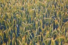 Campo de milho com espiga e a lança estruturada Fotos de Stock Royalty Free