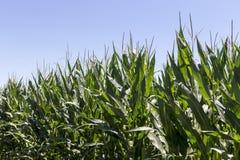 Campo de milho com orelhas maduras Imagens de Stock Royalty Free
