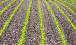Campo de milho com plantas novas Imagens de Stock