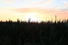 Campo de milho com por do sol fotos de stock