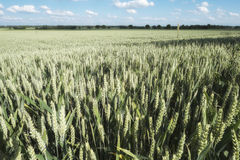 Campo de milho com trigo em Alemanha Imagens de Stock
