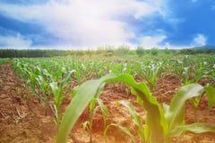 Campo de milho da manhã da área do cultivo que cresce espaço brilhante e vazio para o texto fotos de stock