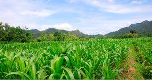 Campo de milho da paisagem Imagem de Stock Royalty Free