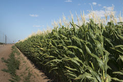Campo de milho de Monsanto GMO imagens de stock royalty free