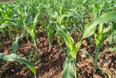 Campo de milho do crescimento Fotos de Stock