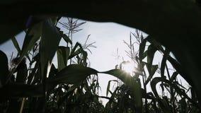 Campo de milho do movimento lento do campo de milho vídeos de arquivo