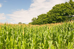 Campo de milho do país Imagem de Stock