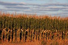 Campo de milho do por do sol Fotografia de Stock