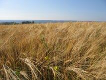 Campo de milho do trigo fotos de stock
