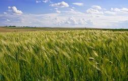 Campo de milho do trigo Fotografia de Stock Royalty Free