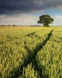 Campo de milho do verão Imagem de Stock