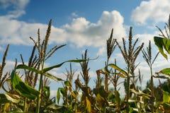 Campo de milho do verão Imagem de Stock Royalty Free