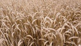 Campo de milho dourado Fotografia de Stock