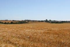 Campo de milho dourado com espaço da cópia Fotografia de Stock