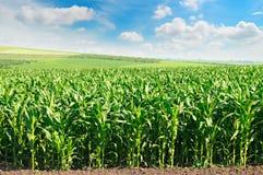 Campo de milho e céu azul fotografia de stock royalty free