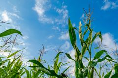 Campo de milho e céu nebuloso azul Imagens de Stock