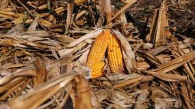 Campo de milho e espigas do milho Foto de Stock