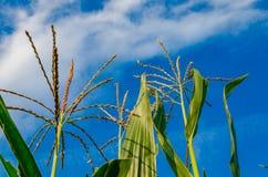 Campo de milho e verão azul do céu nebuloso Foto de Stock