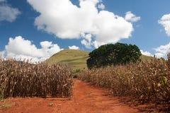 Campo de milho em África do Sul fotos de stock royalty free