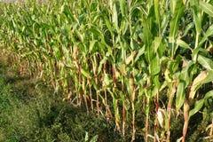 Campo de milho em outubro Fotografia de Stock