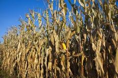 Campo de milho em outubro fotos de stock royalty free