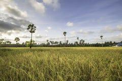 Campo de milho em Tailândia Fotografia de Stock