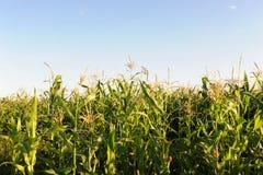 Campo de milho em um dia ensolarado Foto de Stock