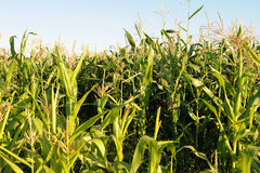 Campo de milho em um dia ensolarado Imagem de Stock
