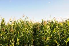 Campo de milho em um dia ensolarado Fotos de Stock Royalty Free