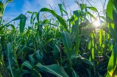 Campo de milho em um dia ensolarado, folhas do milho, opinião de lente de fisheye da perspectiva da distorção fotografia de stock royalty free