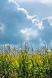 Campo de milho ensolarado e nuvems tempestuosa Foto de Stock Royalty Free