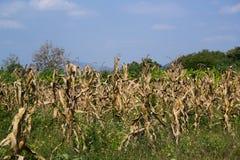 Campo de milho inoperante Fotos de Stock