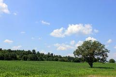 Campo de milho lindo com céus e árvores Imagem de Stock