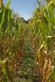 Campo de milho maduro fotografia de stock