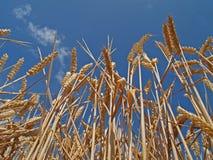 Campo de milho maduro imagens de stock royalty free