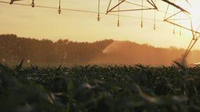 Campo de milho molhando agrícola do sistema de irrigação filme